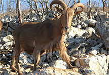 Otkrivena nova životinjska vrsta iz potporodice koza