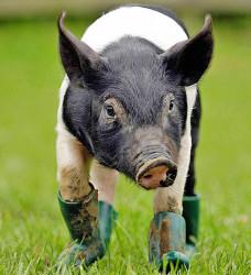 Svinja pati od mizofobije pa nosi čizme!