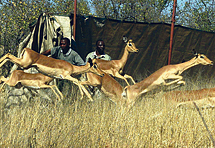 Iz Kenije bježi milijun divljih životinja