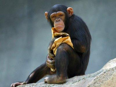 Čimpanze bolje u testovima pamćenja od ljudi...