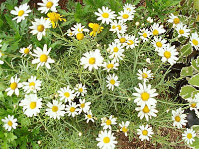 Bakino cvijeće u vašem vrtu