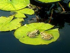 ŠTO MI GOVORI MOJ SAN? - Dvije žabe ili razvijanje teme iz sna u san