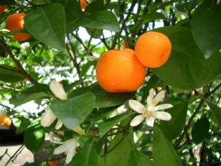 otrov mandarine