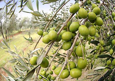 Zamućeno tržište maslinova ulja