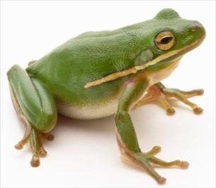 Žabe su otkreketale svoje, tvrde istraživači