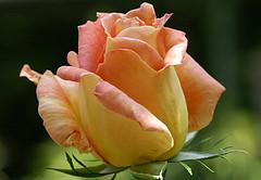 GOVOR RUŽE