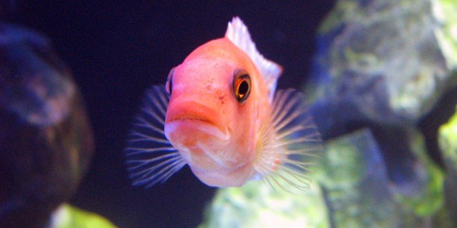 Mogu li ribe biti tužne? Da li plaču?