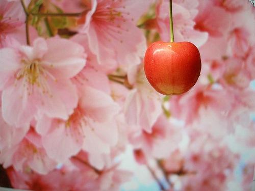 Sakura (trešnja)