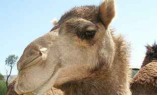 U Dubaiju okoćena prva klonirana deva