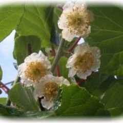 Kivi - biljka vječne mladosti