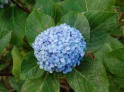 Hortenzija - cvijet za pomirenja ljubavnika