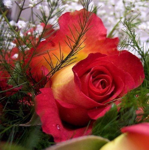 Vrste (sorte) ruža