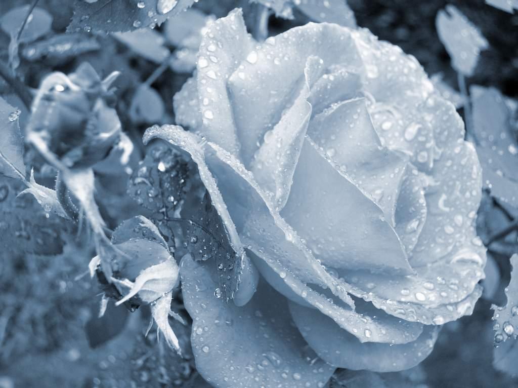 Ružin grm