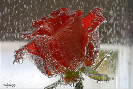 RUŽE SU CRVENE