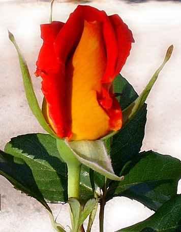 Član cvijet