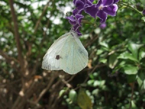 Leptirova ljubav