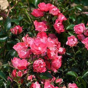 Hybrid musk (hibridne mošusne) ruže