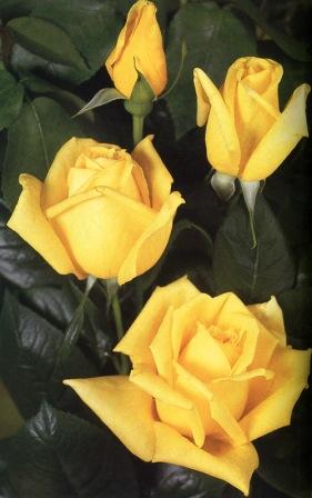 Hibridne ruže čajevke