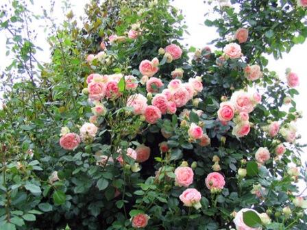 Grmolike ruže