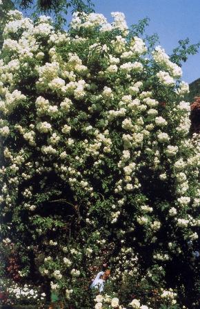 Ruže penjačice tipa rambler