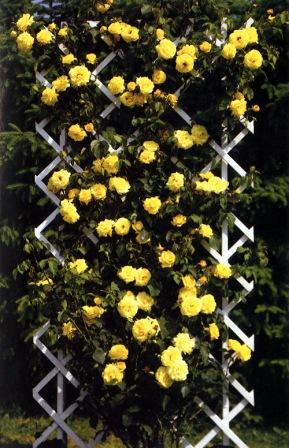 Ruže penjačice tipa climber
