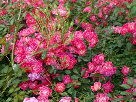 Ruže pokrivači tla