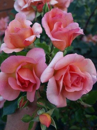 Ruže Floribunde
