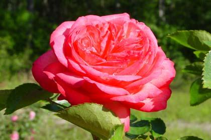 Starinske ruže