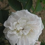 Alba – bijele ruže