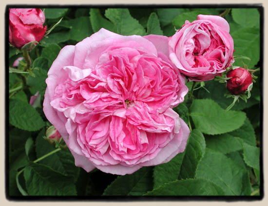 Centifolia – stolisne ruže