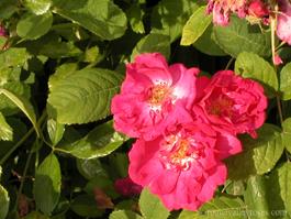 Ruže Portland