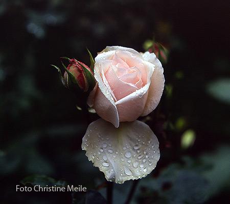 Ruže Bourbon