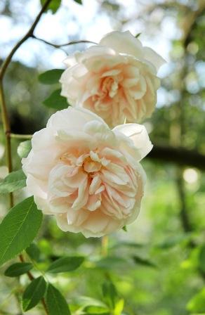 Ruže Noisette