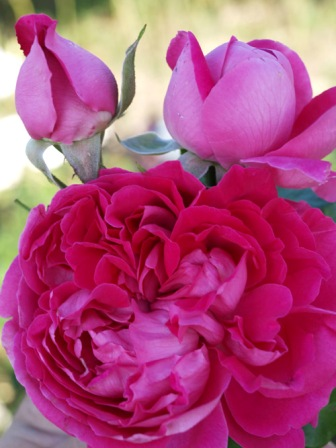 Ruže Hybrid perpetual