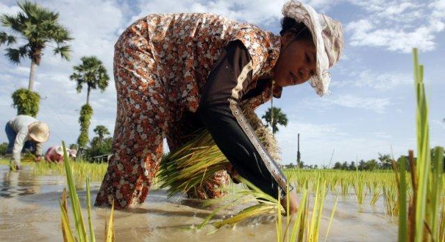 Crna riža kao prirodni antibiotik