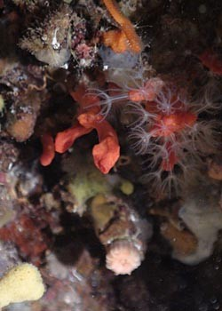 Crvenom koralju opasno prijeti istrebljenje
