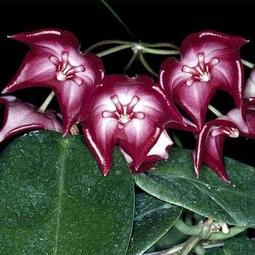 Hoya/Porculansko cvijeće