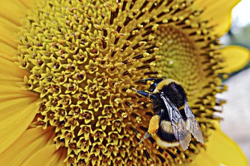 Za nestanak velikog broja pčela krive se novi pesticidi