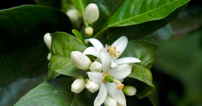 ZDRAVA KUHARICA - Čaj od lista limuna, Branka Pintar