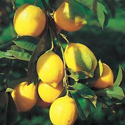Najzdravije namirnice svijeta: limun