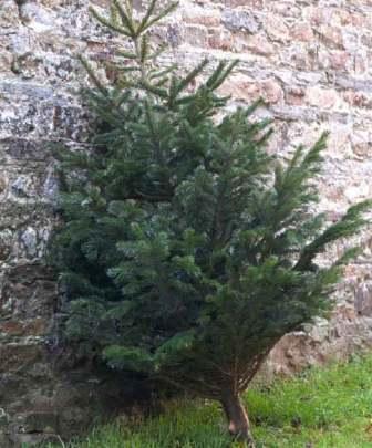 Kupite i reciklirajte pravo drvce