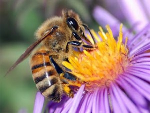 Je li pčela alergična na cvijet