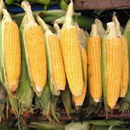 Veličanstveni kukuruz: Ukusan za nepce, zdrav za probavu