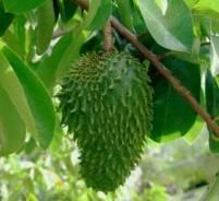 Graviola-čudesna biljka koja liječi rak.