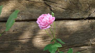 Jesenska ruža
