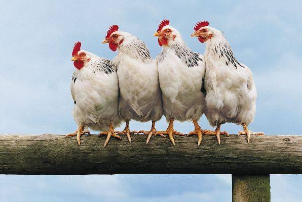 Buđenje svijesti i NWO u kokošinjcu