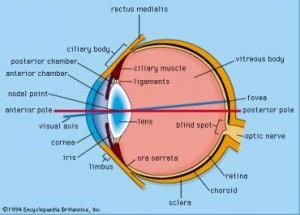 Oko kreativan organ