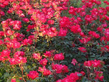 Zbog dobrote rastu ruže (10. 7.)