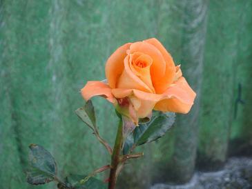 Još ruža....