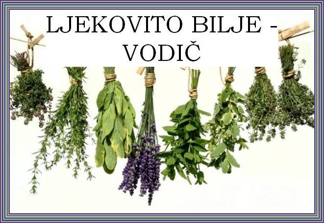 LJEKOVITO BILJE - Kamilica